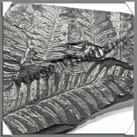 FOUGERE Fossile - 716 grammes - 17x115x285 mm - M001